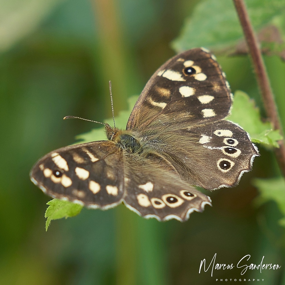 Speckled brown by Marcus Sanderson