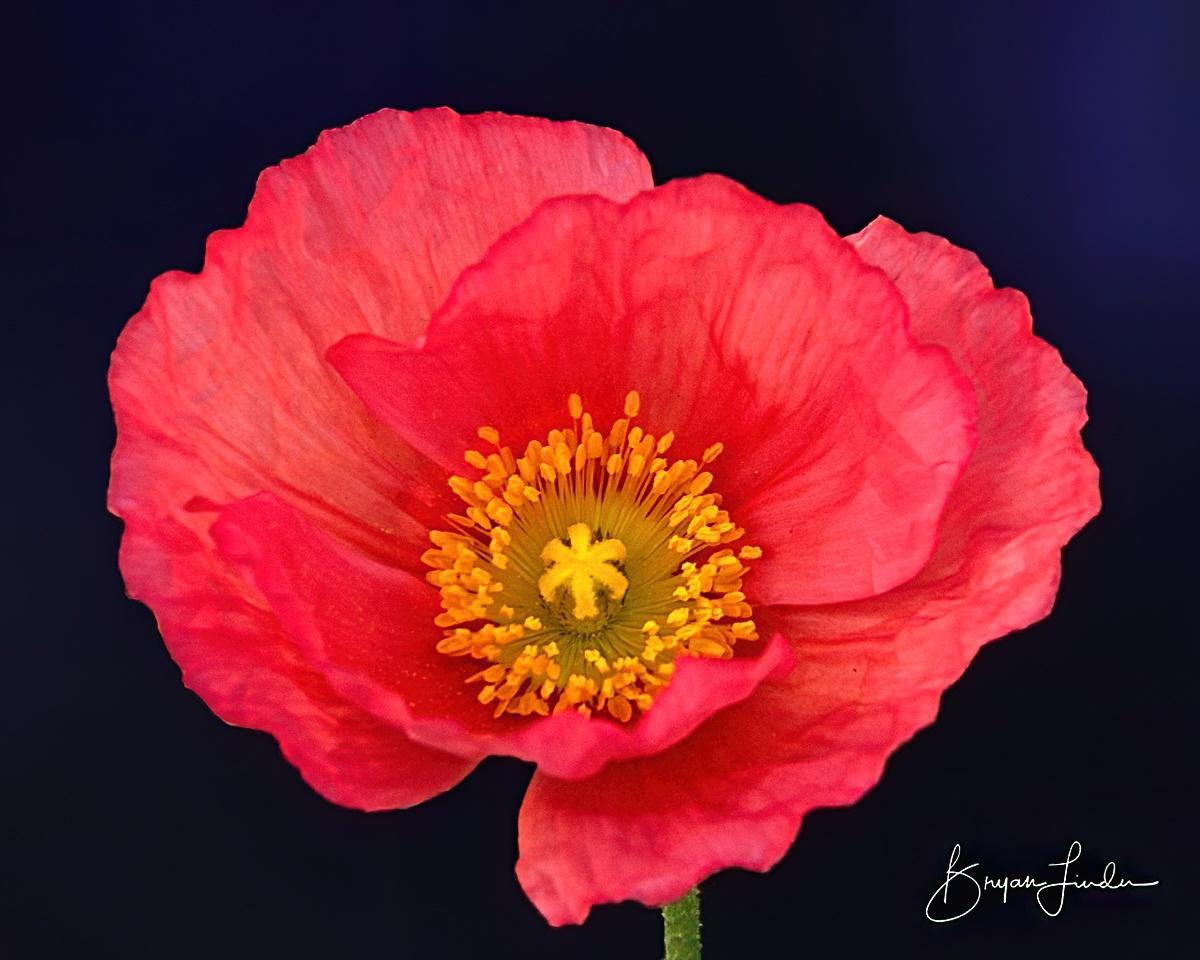 Hot Pink Poppy by Bryan Linden