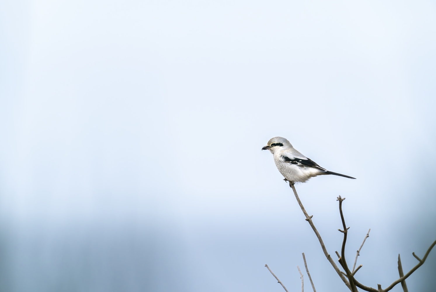 Northern Shrike on the lookout by Gordon Hatusupy