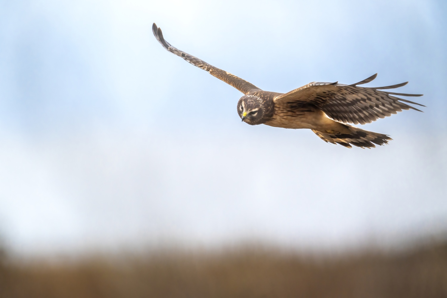 Northern Harrier up close by Gordon Hatusupy