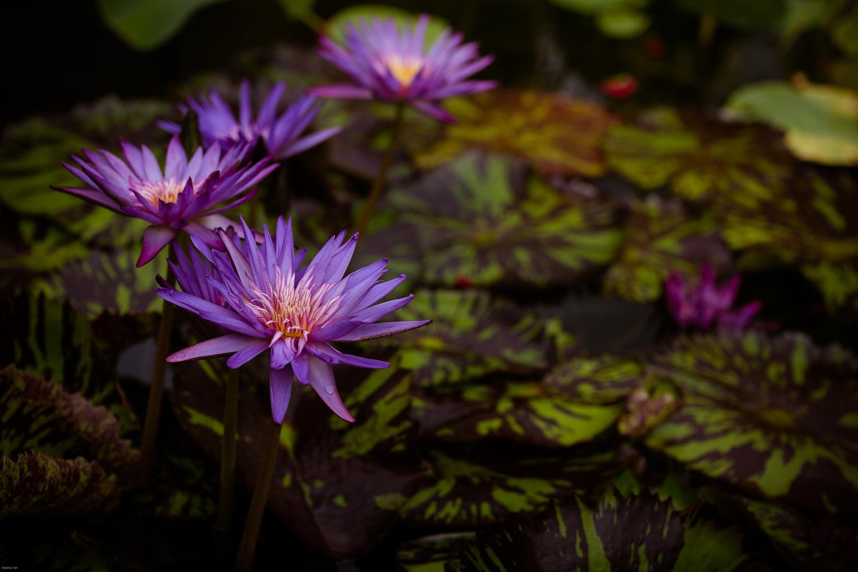 Purple Water Lilies by Delaney Van