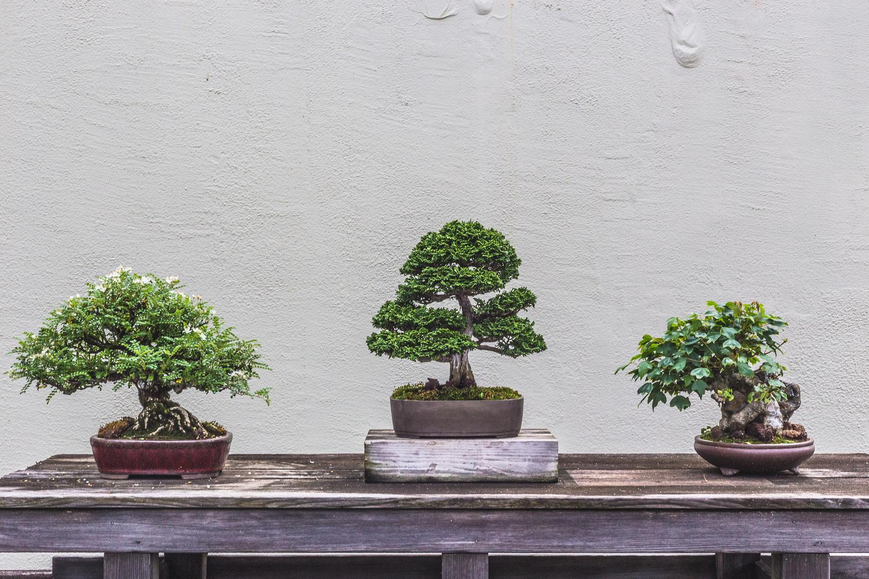 Display of Three Bonsai Trees by Delaney Van