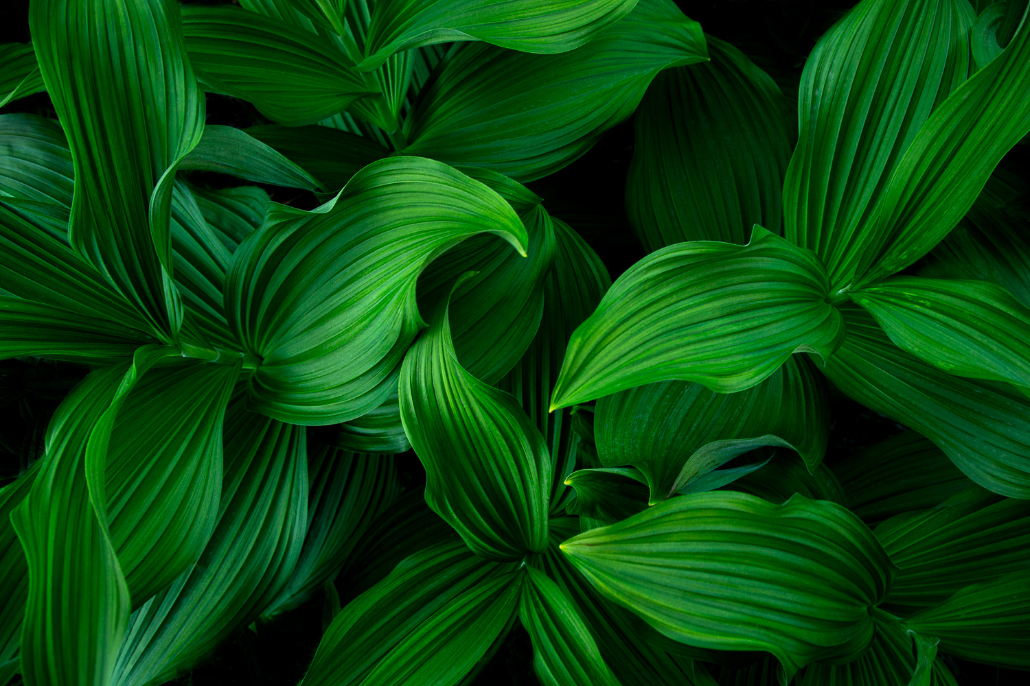 Corn Lilies by Rob Lace