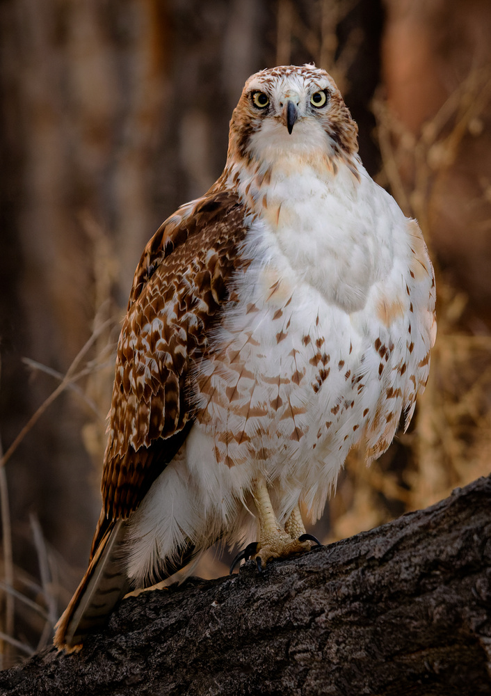 Redtail Hawk by Rob Lace