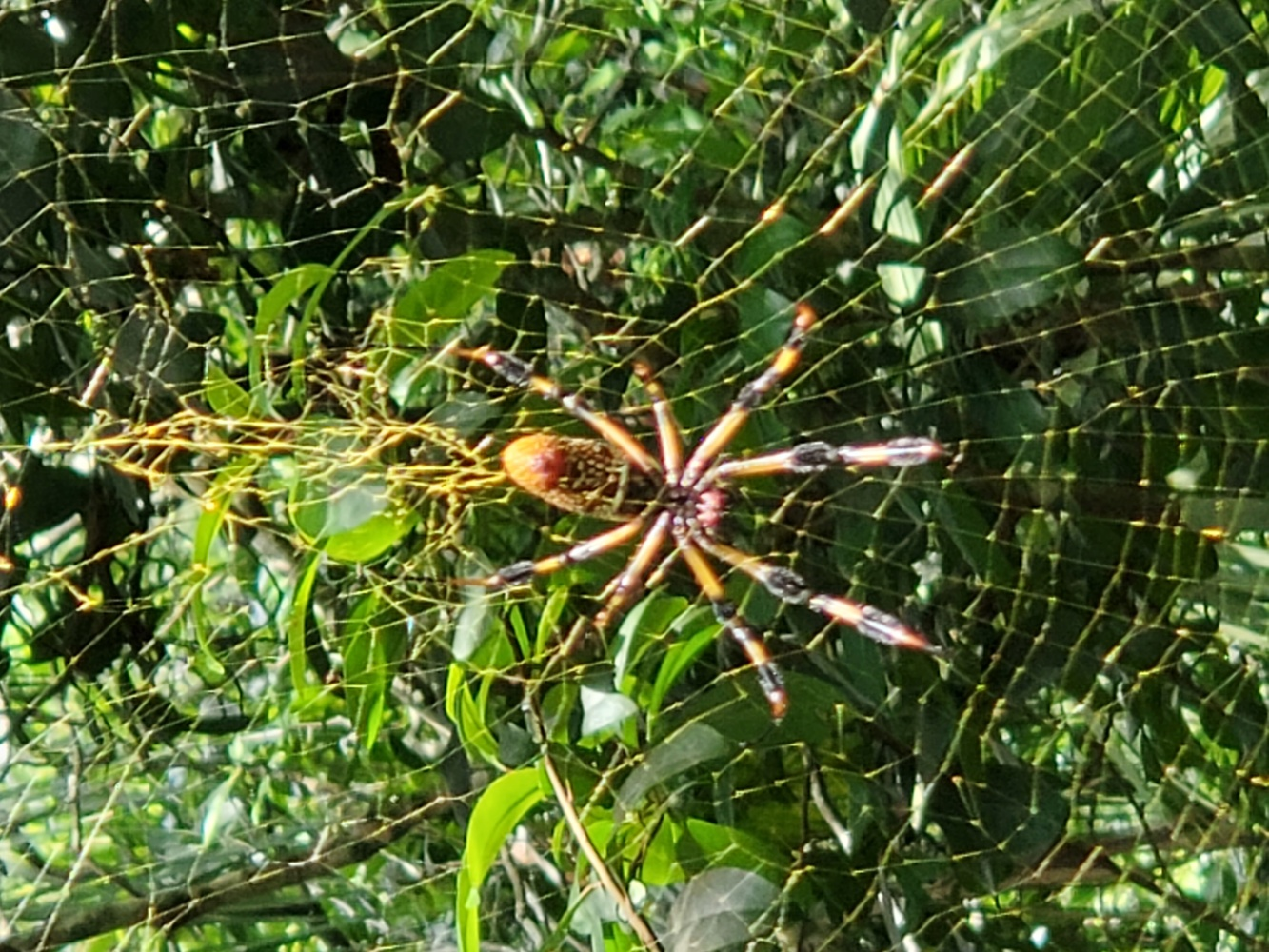 Golden orb weaver by Kathy DITTON