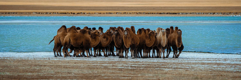 Mongolian Bactrian Camels by Artem Shestakov by Artem Shestakov