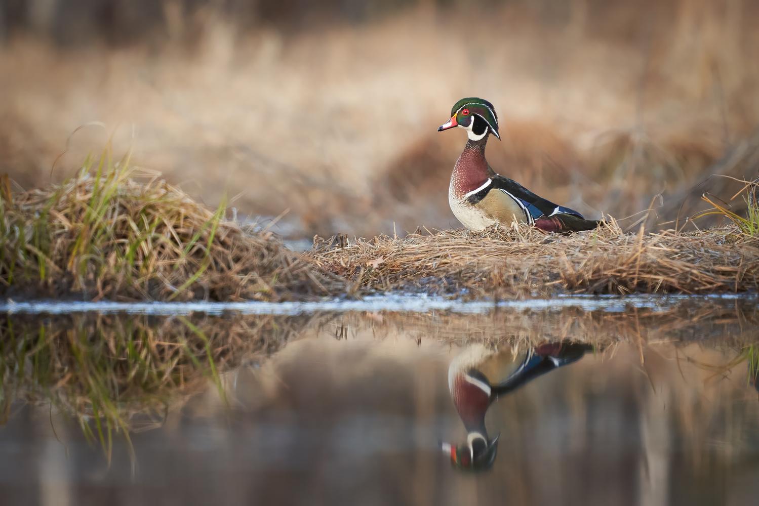 Wood Duck by Ryan Mense