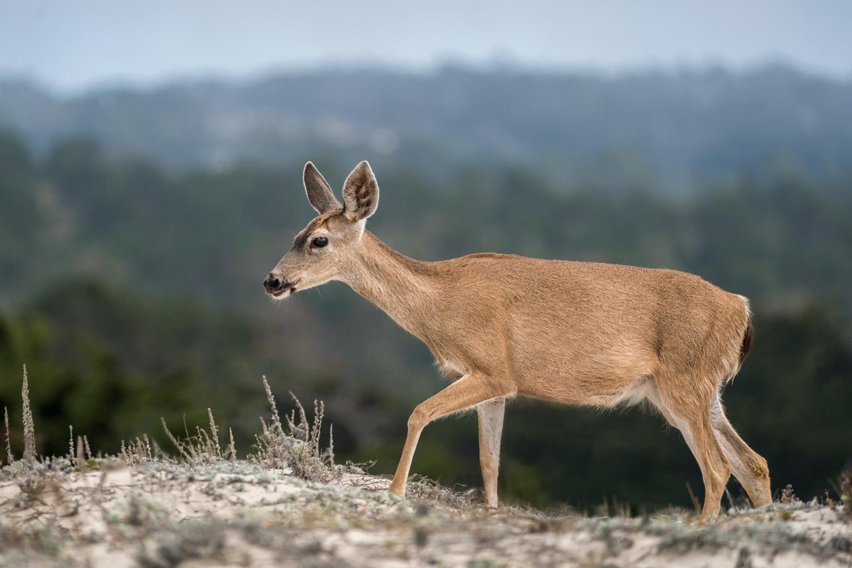Mule Deer by Ryan Mense