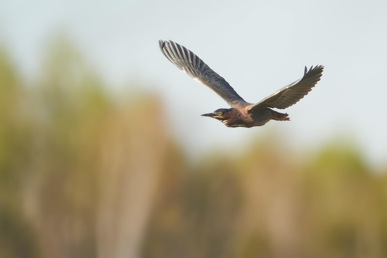 Green Heron by Ryan Mense
