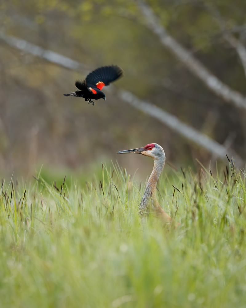 Red-winged Blackbird and Sandhill Crane by Ryan Mense