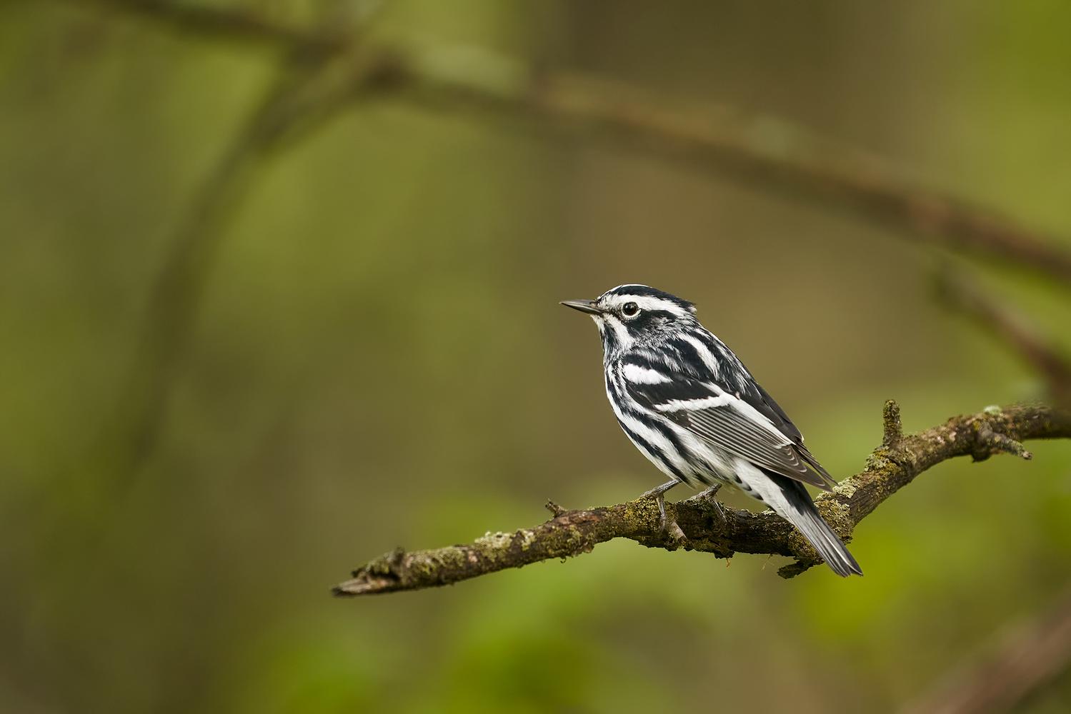 Black-and-white Warbler by Ryan Mense