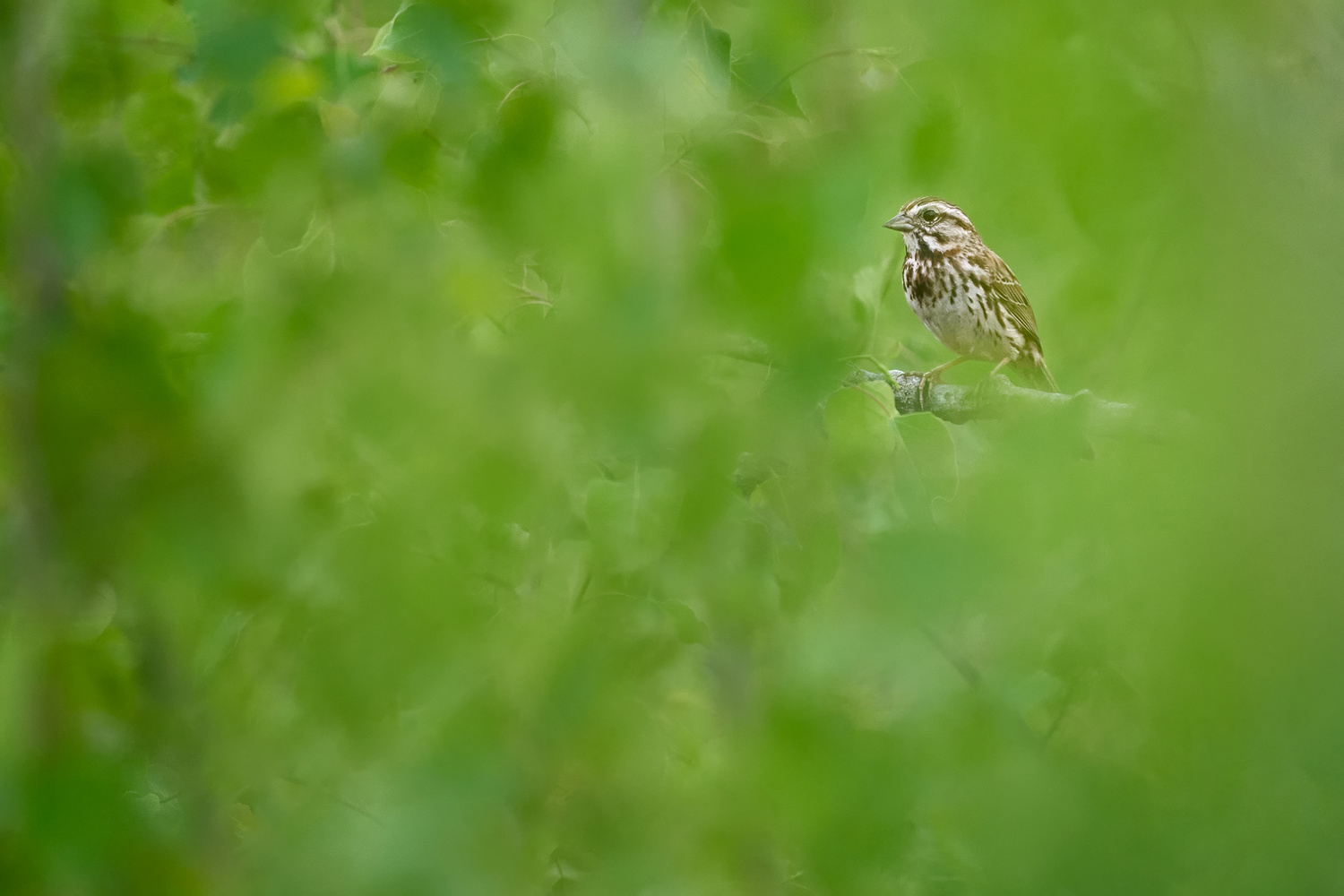 Song Sparrow by Ryan Mense