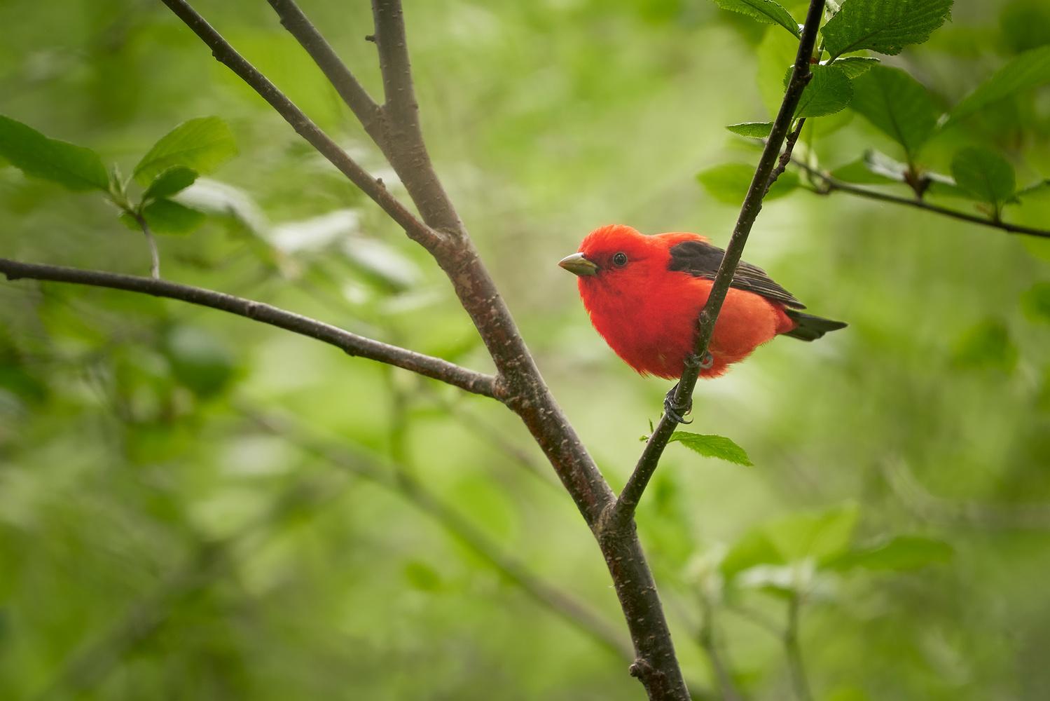 Scarlet Tanager by Ryan Mense