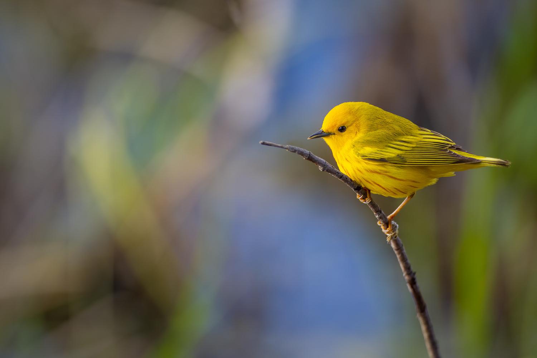 Yellow Warbler by Ryan Mense