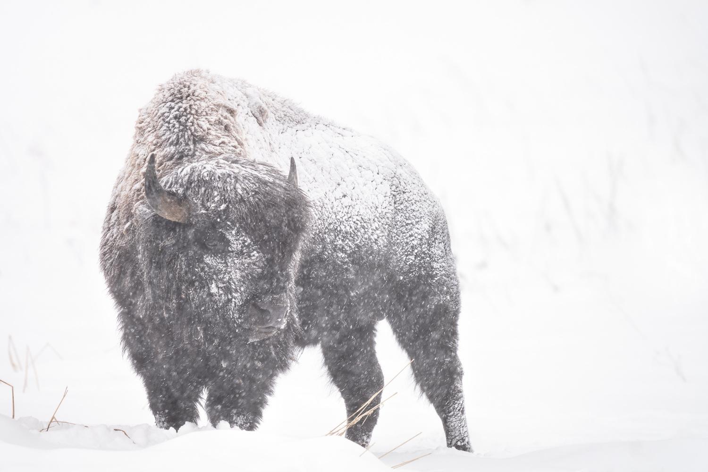 American Bison (Captive) by Ryan Mense