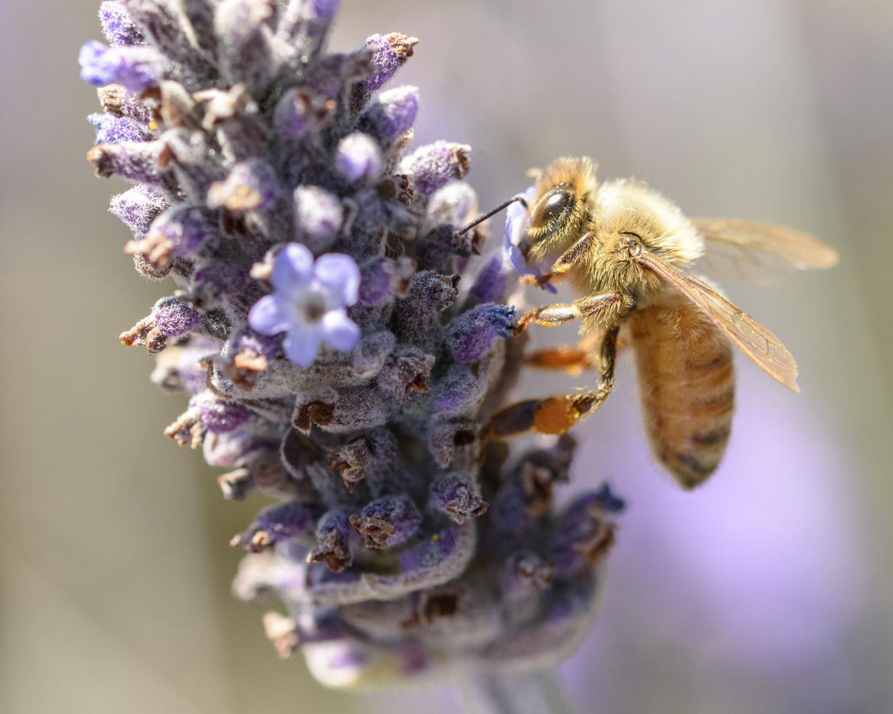 Bee Sharp by Ian Anderson