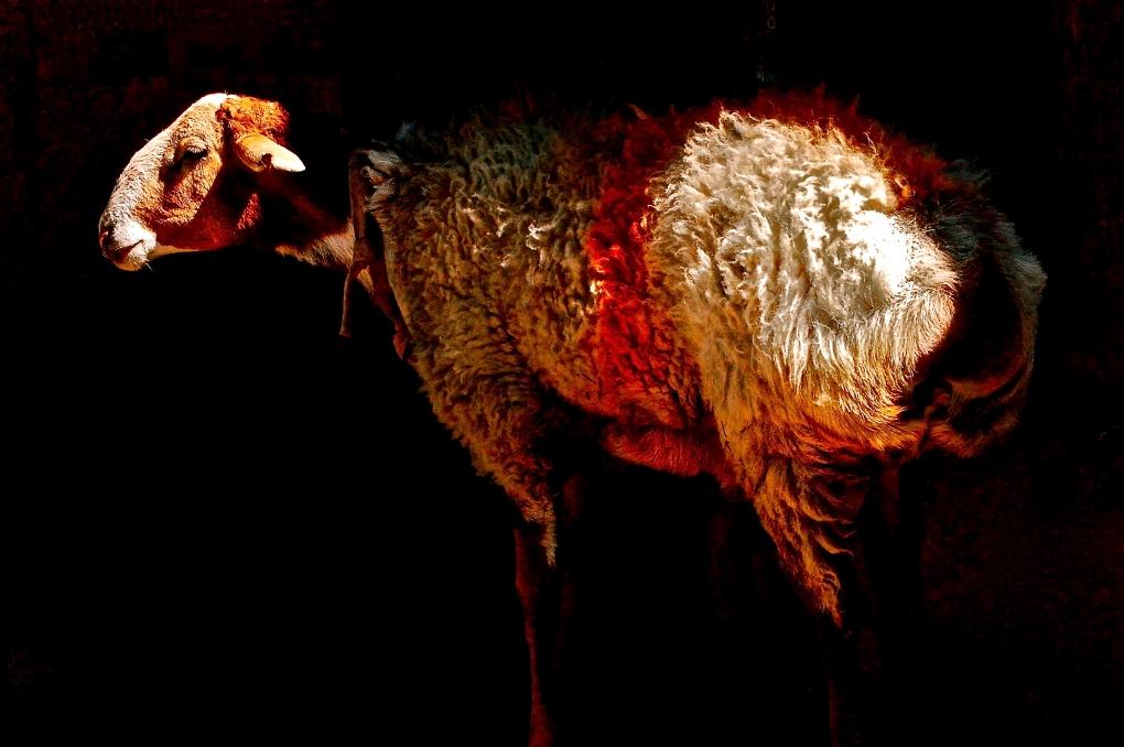 Henna Sheep by Laurence Cameron