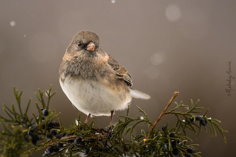 Snowbird by Melody Mellinger
