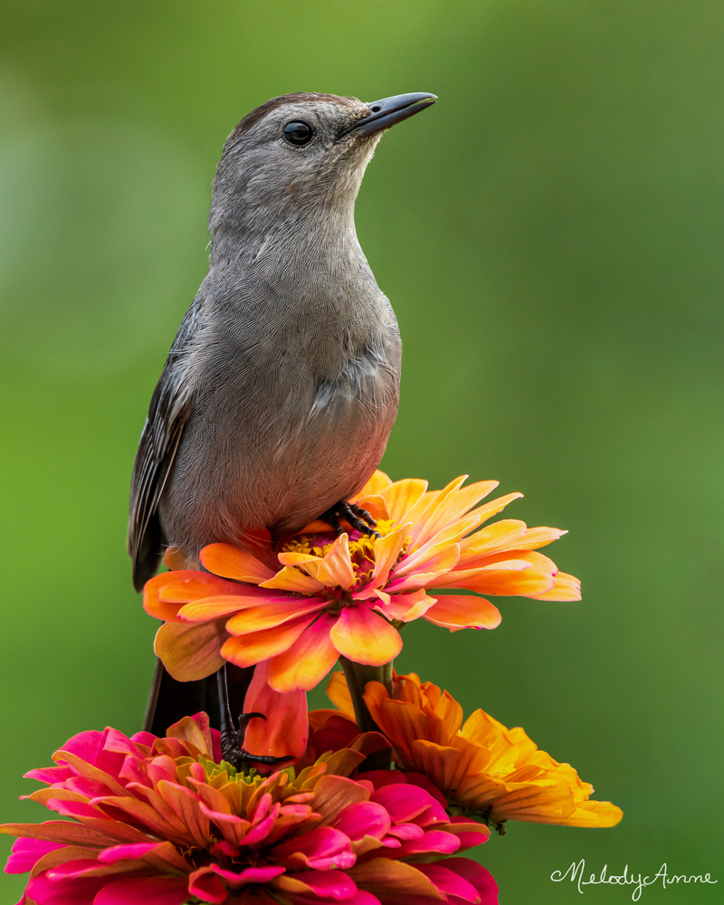 Contemplative Catbird by Melody Mellinger