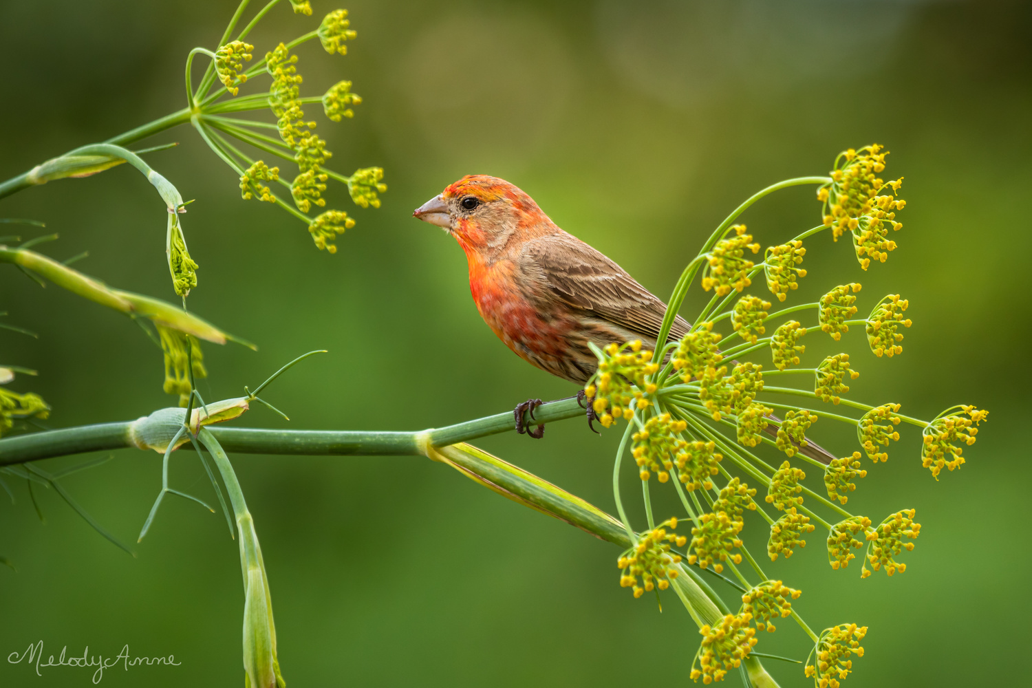 Finch in the Fennel by Melody Mellinger