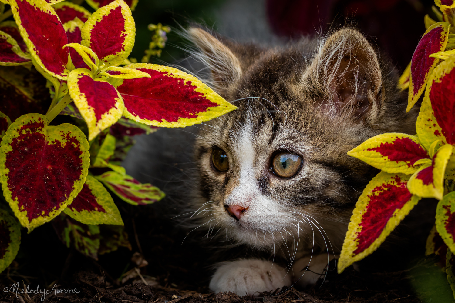Kitten in the Flowerbed by Melody Mellinger