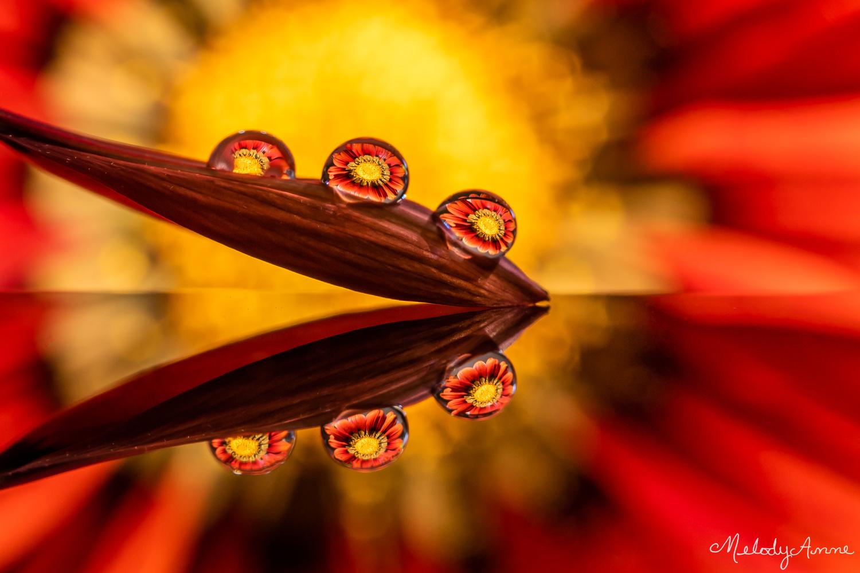 Gazania Rays by Melody Mellinger