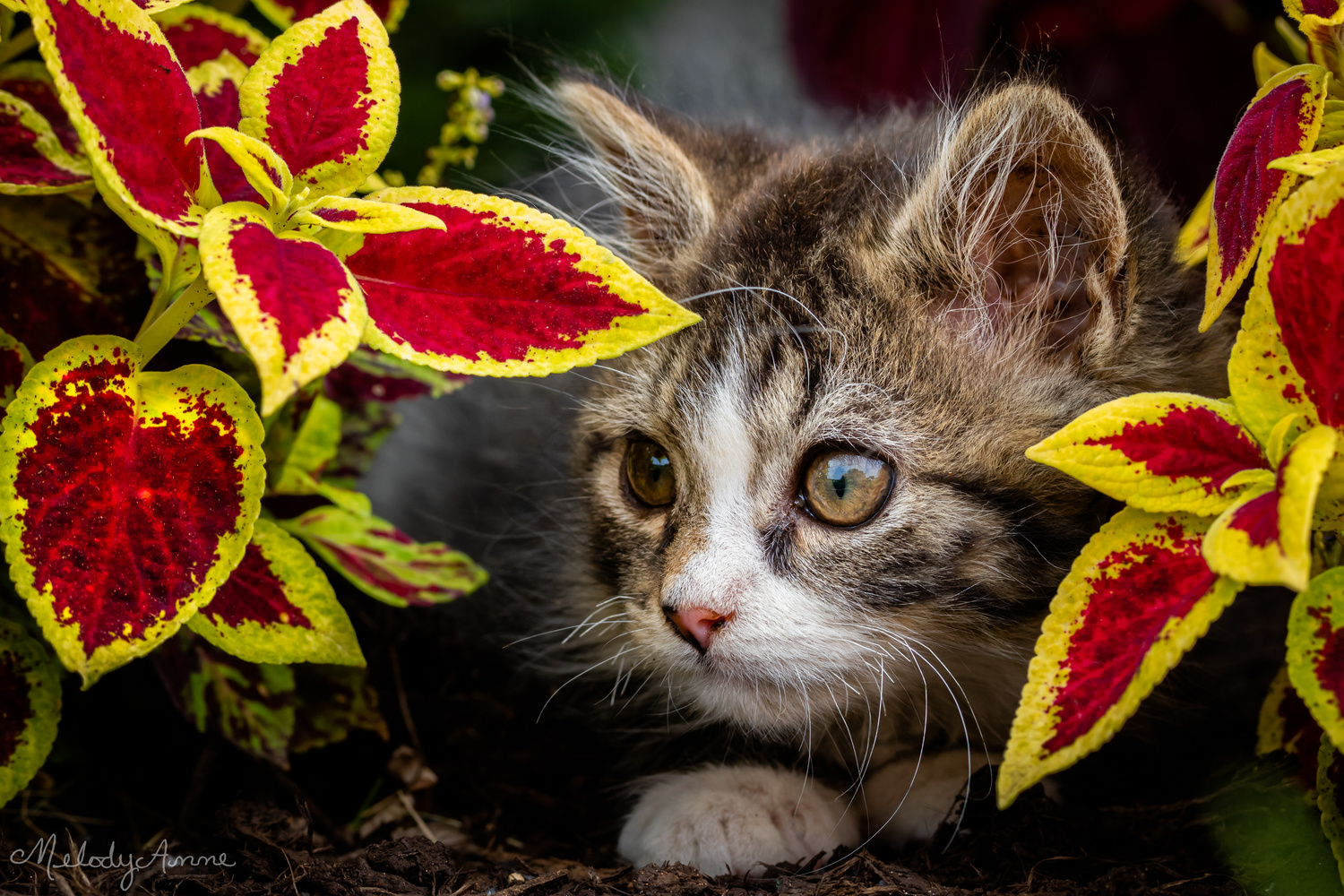 The Tiny Tiger in My Flowerbed by Melody Mellinger
