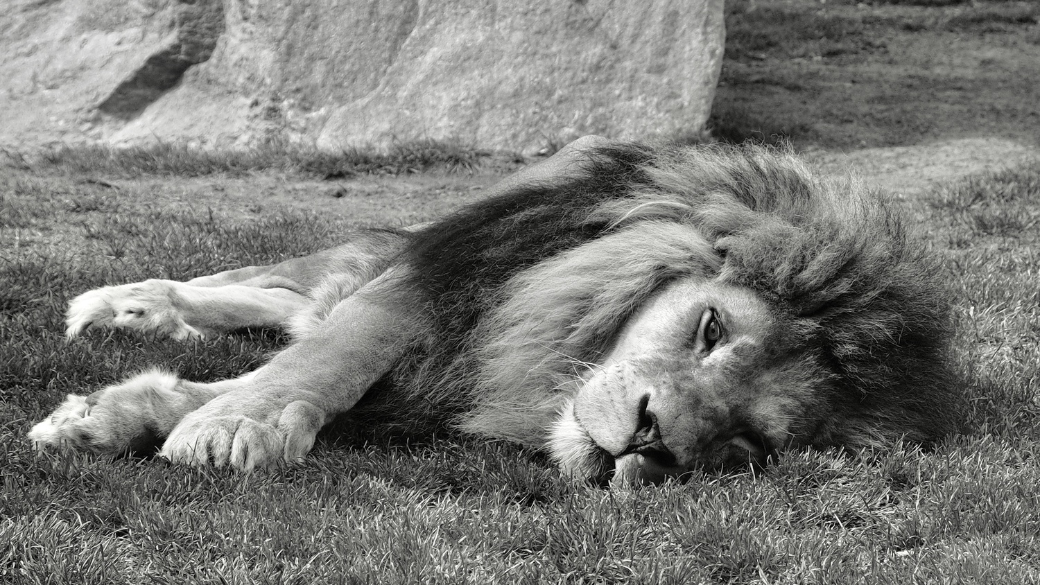 Lion in wildpark Valencia by Cees Albers