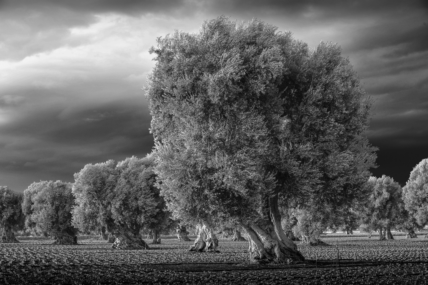 Olive trees in Umbria by Martin Weiss