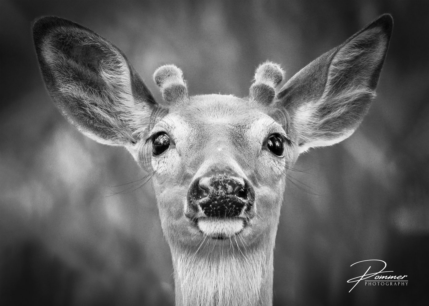 Black and White Young Buck by Robert Pommer