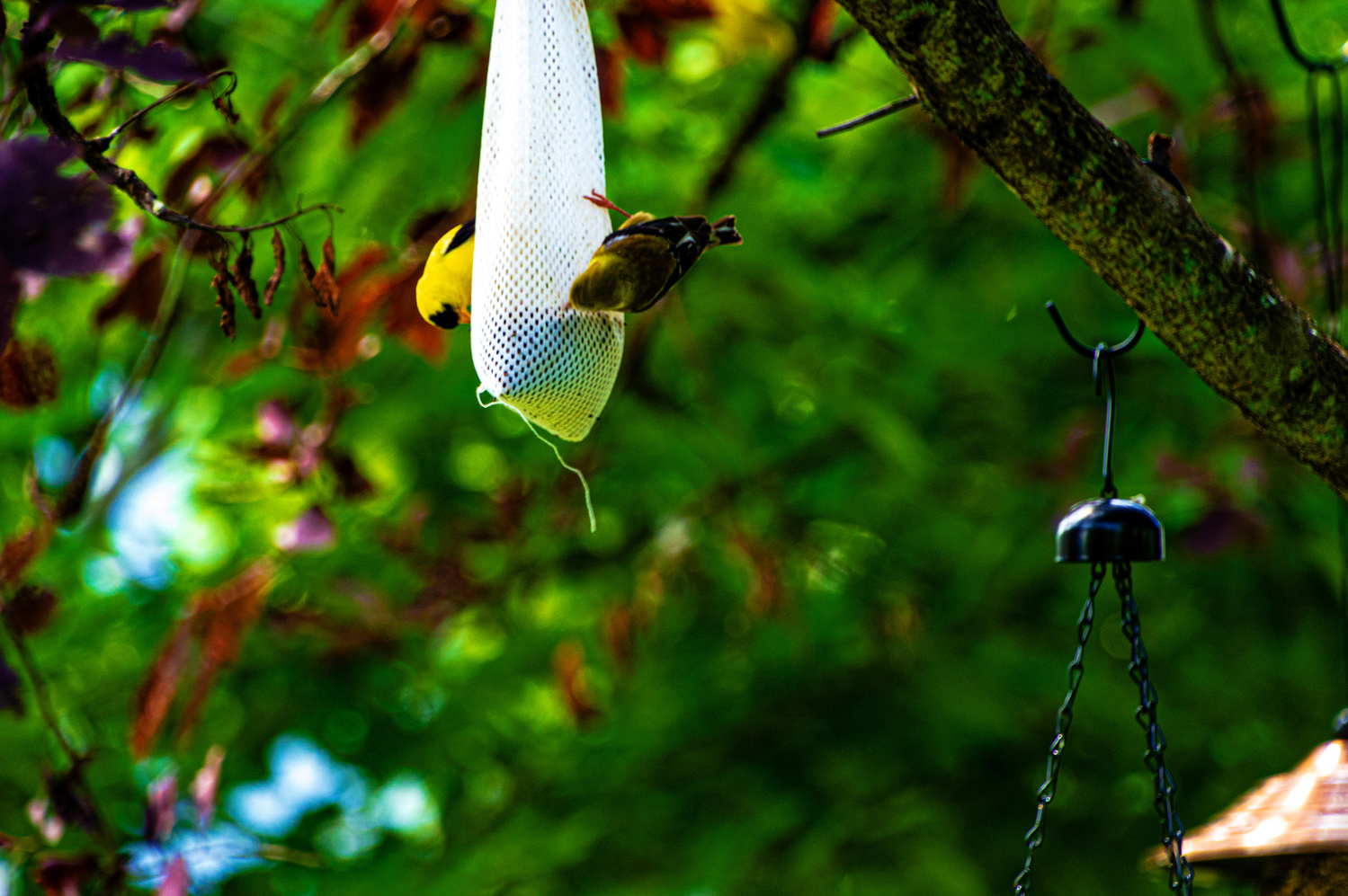 American Goldfinch by Rohit Burra