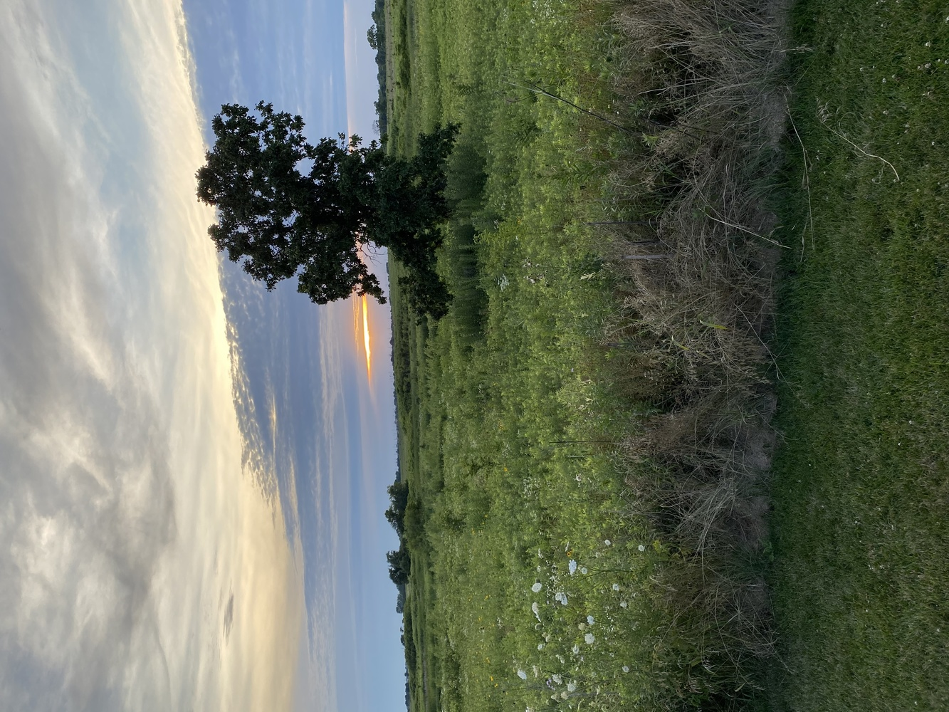 Sunset Tree by Rohit Burra