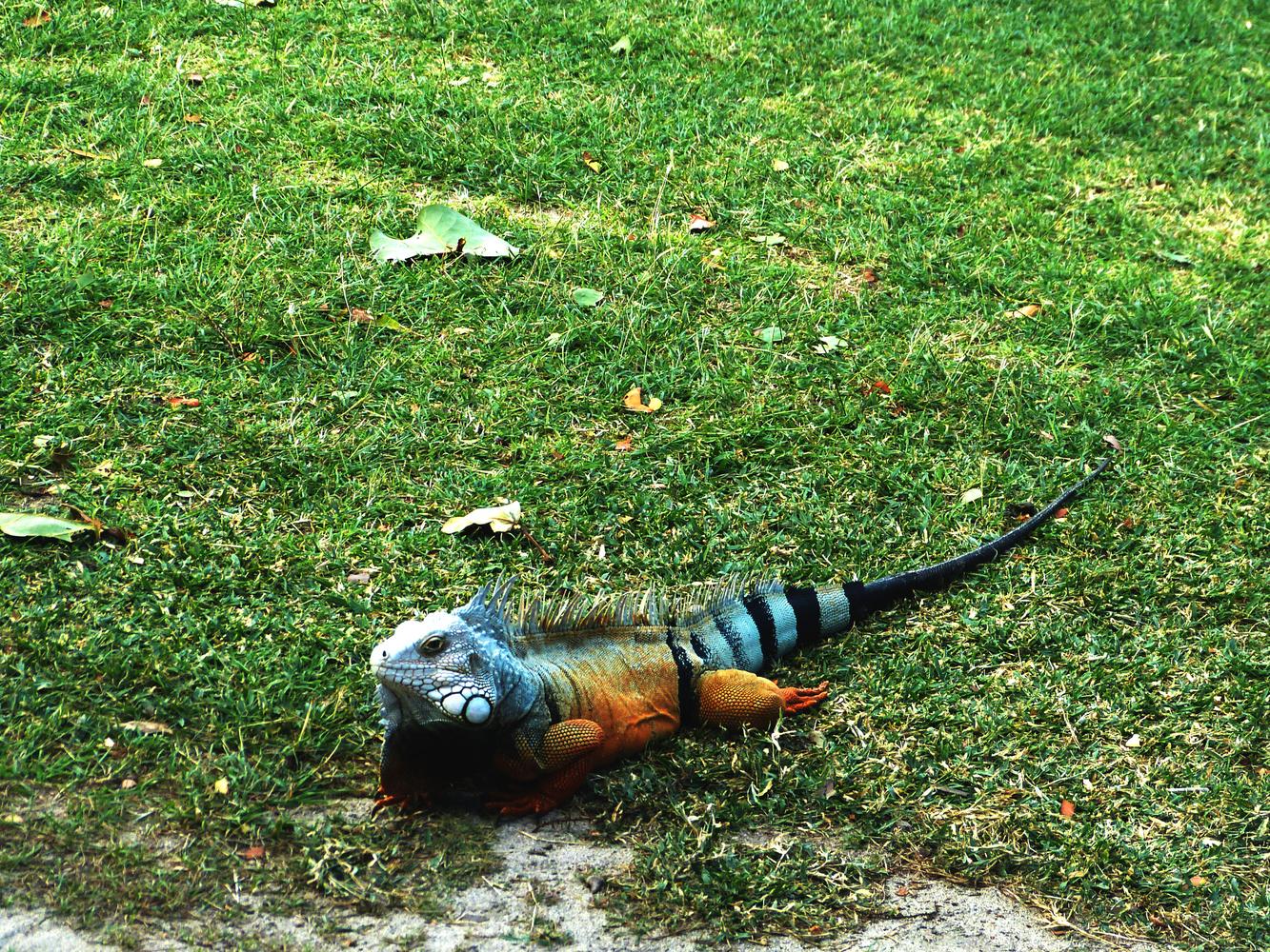 Green iguana of Puerto Rico by Rohit Burra