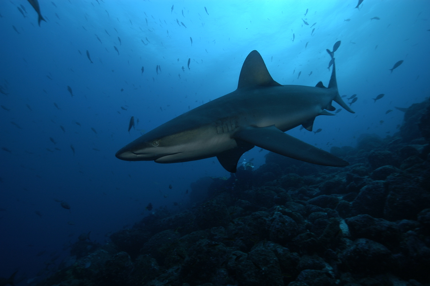 GALAPAGOS REEF SHARK by stephen duffield