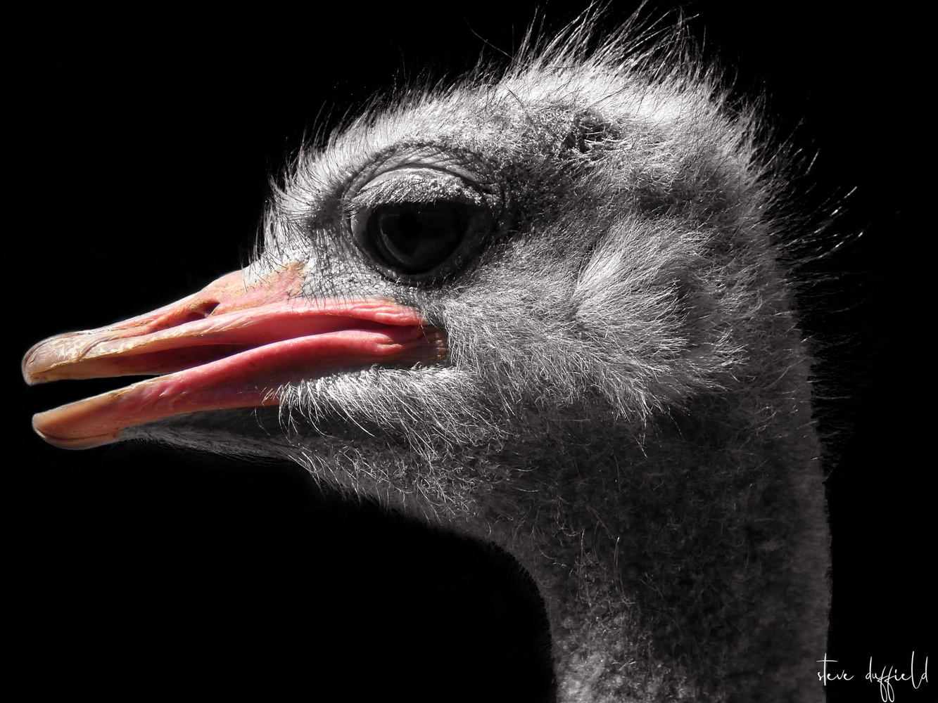 Common ostrich by stephen duffield