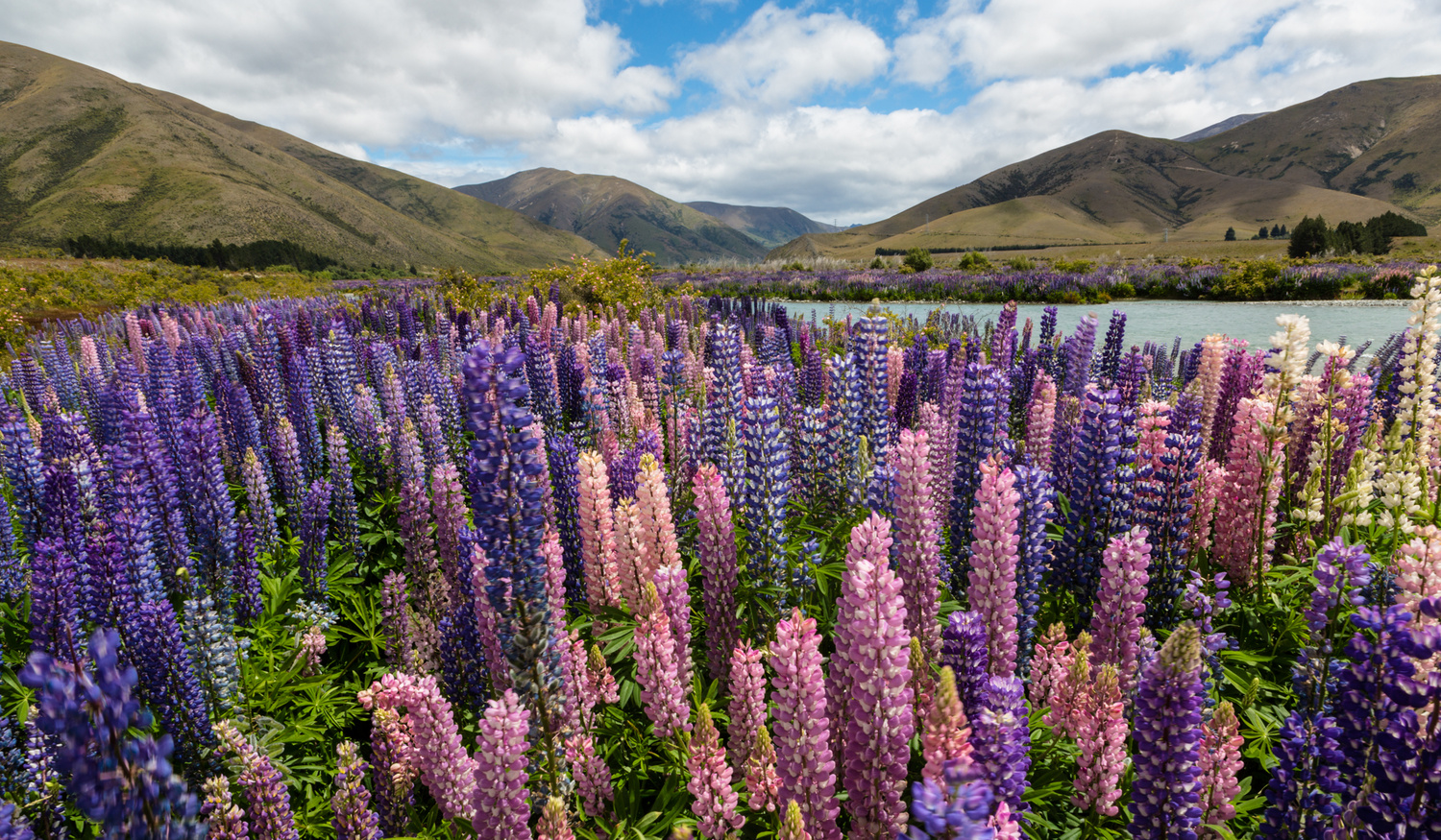 Lupin Field by Thomas Even
