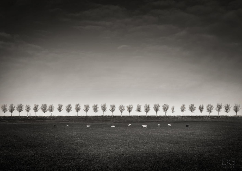 Beemster Sheep by David Garthwaite