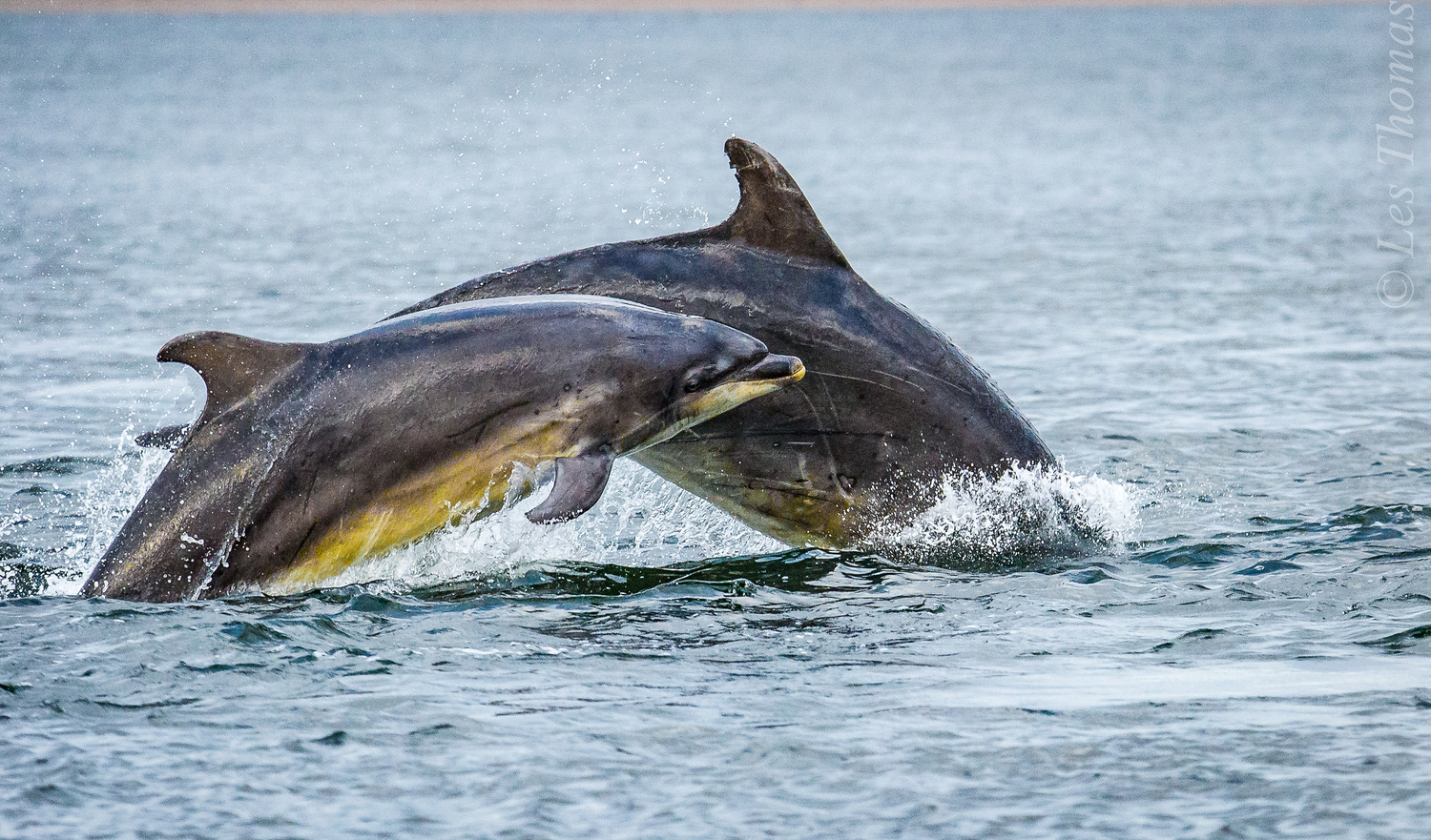 Cow and Calf Bottlenose Dolphin. by Les Thomas