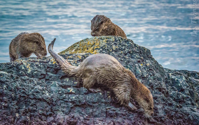 Three Otters! by Les Thomas