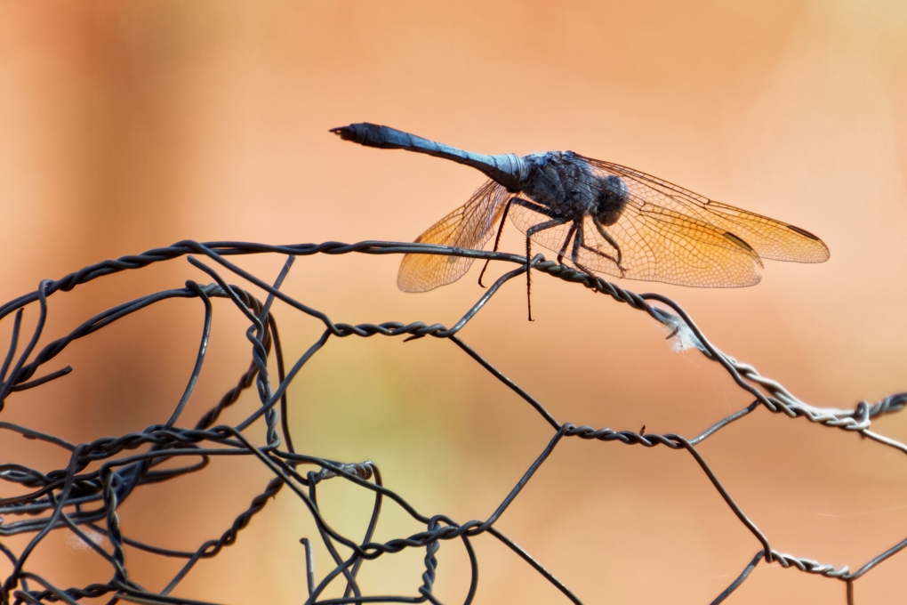 dragon fly by kartikeya Sharma