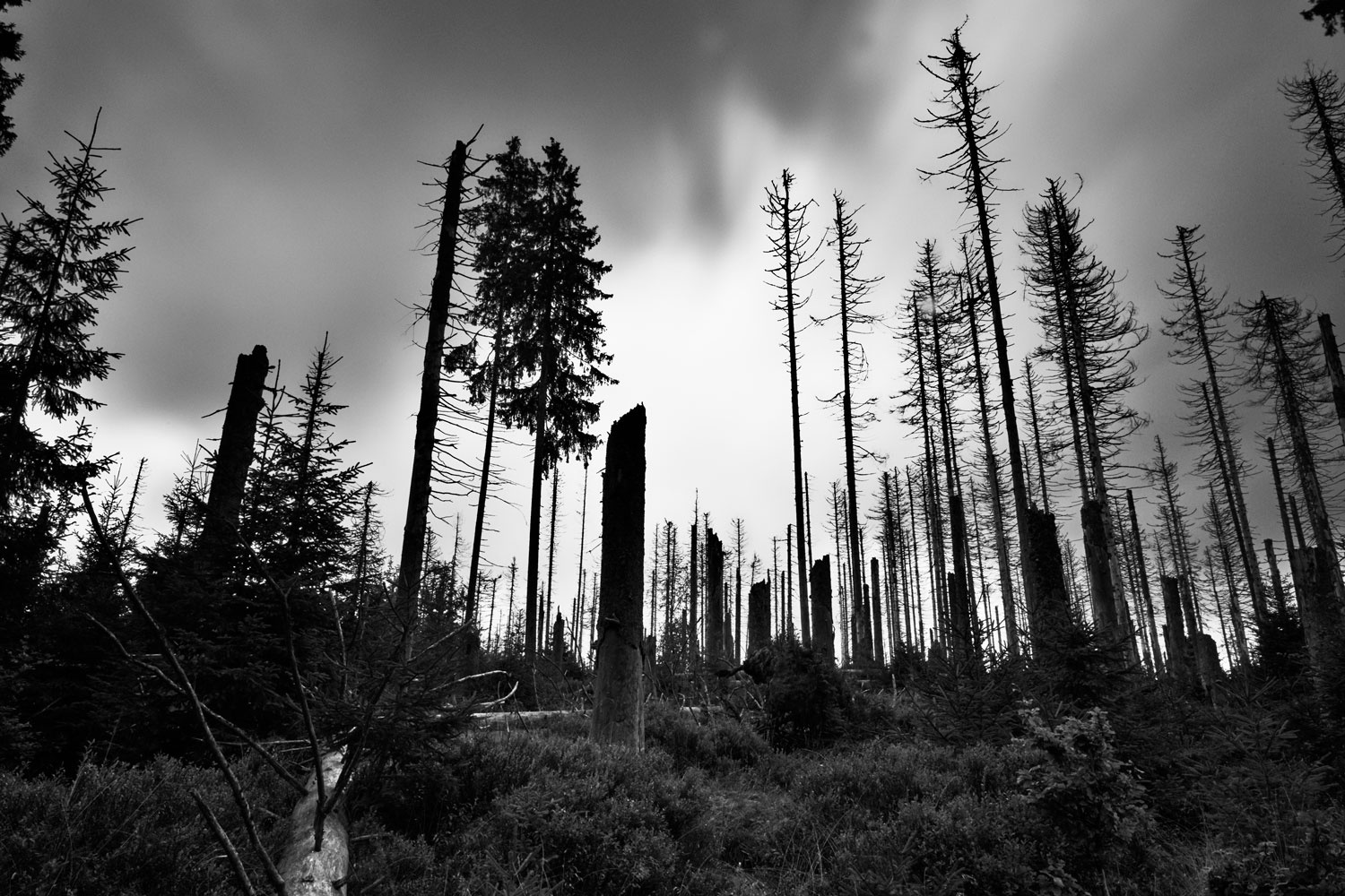 Dying forest by bark beetle disease in Harz by Jan Christian Zimara