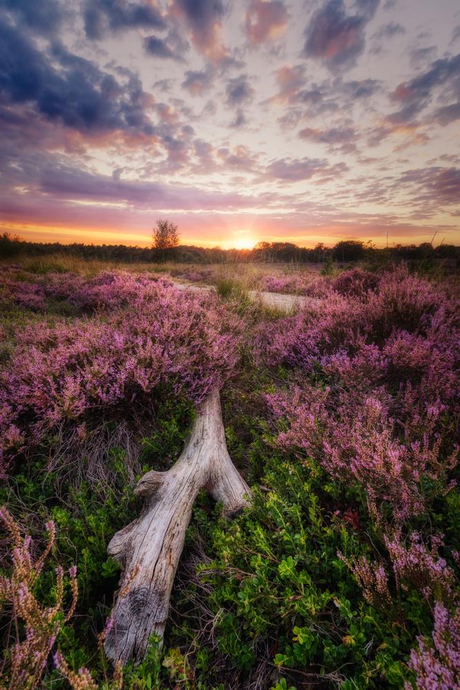 Sunset on the heather by Jaimy Leemburg