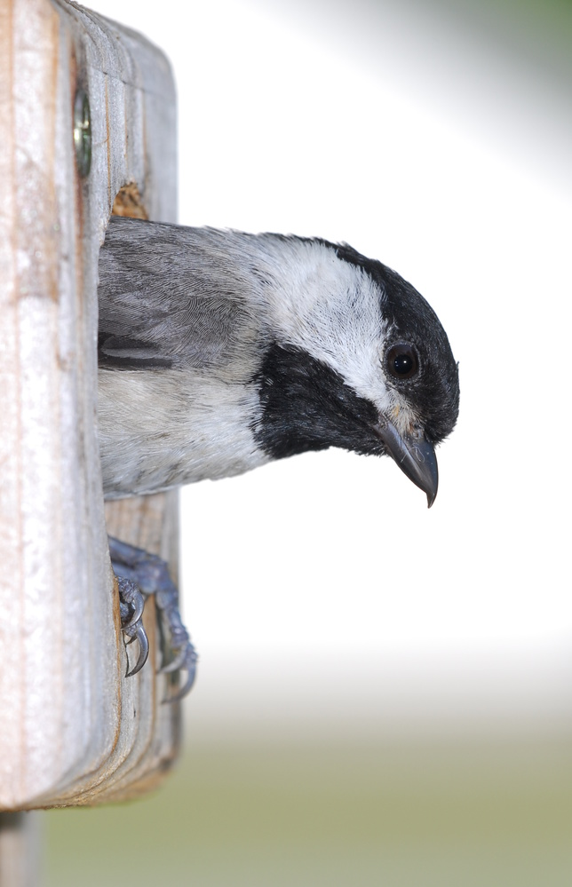 Carolina Chickadee by Stanley Westfall