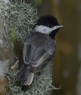 Young Chickadee by Stanley Westfall