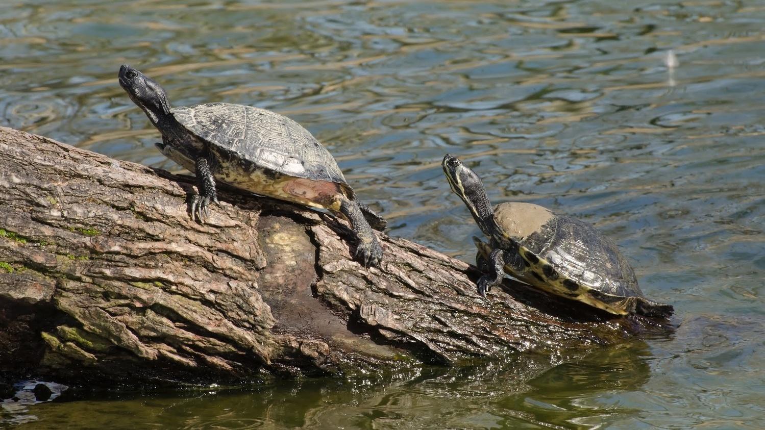 Turtles On Log by Stanley Westfall