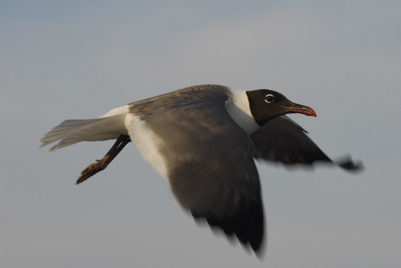 Laughing Gull in flight by Stanley Westfall