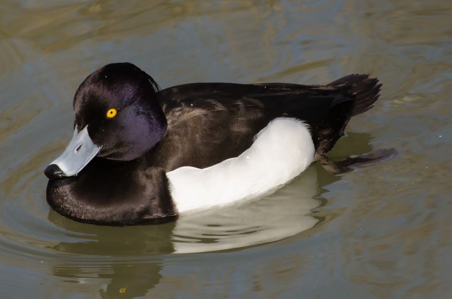 Tufted Duck by Stanley Westfall