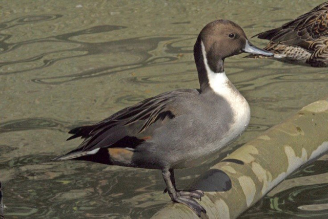 Pintail by Stanley Westfall