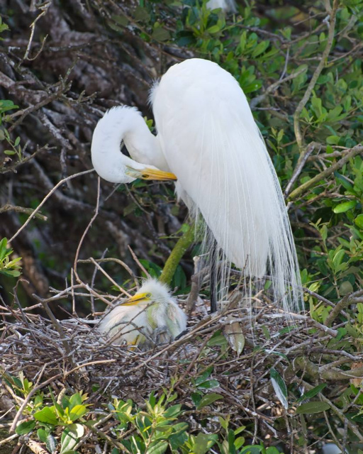 Great White Egret nesting with chick by Stanley Westfall