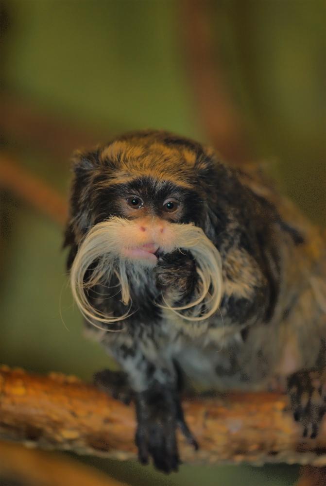Emperor Tamarin Monkey by Stanley Westfall